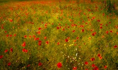 A Field of flowers (ainz1607) Tags: flowers red summer plants art nature beautiful field natural poppies monet