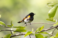Male American (RubénRamosBlanco) Tags: naturaleza nature animales wildlife aves birds americanredstart candelitanorteña setophagaruticilla setrut macho male adulto adult primavera spring migración migration mountauburn cambridge mass usa color
