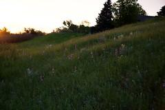 Sunrise Wildflower Meadow 01 (The Good Brat) Tags: colorado us sunrise wildflowers early spring morning light walk stroll path trail meadow flowers blooms westernblueflax linumlewisii rockymountainpenstemon tallbeardtongue penstemonunilateralis whitelocoweed oxytropissericea nature