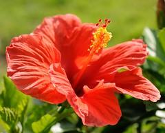 DSC_0361e ~ Hibiscus (BDC Photography) Tags: pipecreek texas usa hibiscus bwfpro62mm010uvhaze1xfilter nikonafmicronikkor60mmf28dlens nikon nikond3