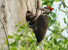 Pileated Woodpecker Family!  Happy Canada Day!!!! (bearbear leggo) Tags: pileated nest woodpeckers family babies outdoors nature feathers birds photography kingston ontario wildlifephotography wildlife karenleggo trunk trees woods