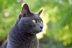 Green Predatory Gaze (The Good Brat) Tags: us colorado blue portrait green cat garden grey feline gray russianblue bluetiful pet closeup outdoor balcony gaze housecat keen predatory