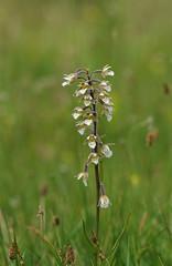 Kent's Marsh Helleborines - Epipactis palustris (favmark1) Tags: kent orchids kentorchids wildorchids britishorchids marshhelleborines epipactispalustris