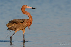 Resting Reddish (craig goettsch) Tags: bunchebeach sanibel2019 egret reddishegret bird shore avian nature wildlife animals nikon d500