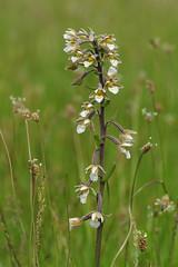 Kent's Marsh Helleborines - Epipactis palustris (favmark1) Tags: kent orchids wildorchids britishorchids kentorchids marshhelleborines
