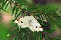 Kase-kärbvaksik.  Macaria notata (Jaan Keinaste) Tags: pentax k3 pentaxk3 eesti estonia loodus nature ööliblikas moth kasekärbvaksik macarianotata peacockmoth
