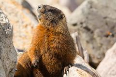 Things are looking up (ChicagoBob46) Tags: yellowbelliedmarmot marmot yellowstone yellowstonenationalpark nature wildlife coth5 ngc naturethroughthelens npc