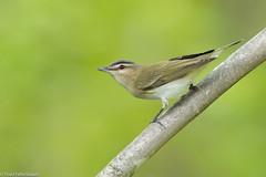 CA3I9995-Red-eyed Vireo (tfells) Tags: redeyedvireo bird wildlife nature newjersey princeton mercer vireoolivaceus