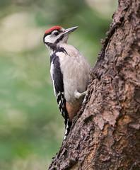 Great Spotted Woodpecker - Buntspecht (rengawfalo) Tags: dendrocoposmajor juvenil natur nature birder birding outdoor greatspottedwoodpecker buntspecht specht vogel bird animal wildlife tier macro wood vögel birds tiere