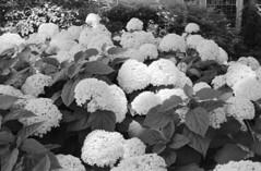 Rollei 35T + ORWOpan 100 + Rodinal 1+25 (DaseinDesign) Tags: rollei35t orwopan100 bloomington indiana 35mm blackandwhite filmphotography