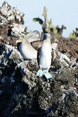 e P1020451 (Simon Caunt) Tags: galapagosarchipelago gadventures galápagos galapagosmarinereserve southamerica equador hilary lumix lumixtz100 leaveonlyfootprints