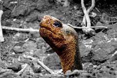 e BW P1020355 (Simon Caunt) Tags: galapagosarchipelago gadventures galápagos galapagosmarinereserve southamerica equador hilary lumix lumixtz100 leaveonlyfootprints