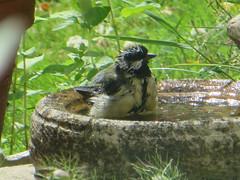 Greattit Bathes (river crane sanctuary) Tags: greattit rivercranesanctuary nature bird wildlife