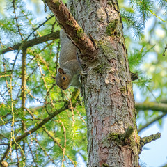 Aston-190629-6297611.jpg (mike_reid.5710) Tags: greysquirrel thamesvalley wildlife england squirrel wip aston naturephotography wildlifephotography wildlifeplanet