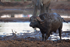Cape Buffalo (leendert3) Tags: leonmolenaar southafrica krugernationalpark wildlife wilderness nature naturereserve naturalhabitat wildanimal mammal capebuffalo ngc coth5
