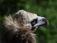 Cinereous Vulture #2 (MJ Harbey) Tags: bird vulture cinereousvulture aegypiusmonachus raptorialbird aves accipitriformes accipitridae aegypius hawkconservancytrust andover kent nikon d3300 nikond3300