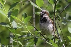 Moineau domestique (m) - House sparrow (m) (dom67150) Tags: nature bird oiseau animal moineaudomestique passerdomesticus housesparrow wildlife male mâle