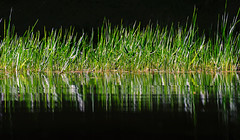 Backwater Grasses - 3083 (RG Rutkay) Tags: cottage kondra muskoka sixmilelake abstract grasses landscape natural nature serenity undisturbed water wilderness flickrfirday groundlevel