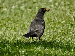 Merle (Faapuroa) Tags: merle blackbird oiseau bird nature animal nokon p1000 nikon p900 coolpix