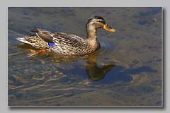 Mallard Female (Me and my Shadow} (Bill McKenzie / bmphoto) Tags: mallard duck bird waterfowl