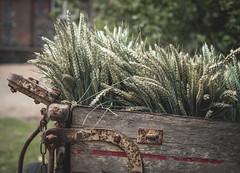 Wheat (V Photography and Art) Tags: wheat harvest farm farmlife countryside cart kent castlefarm food