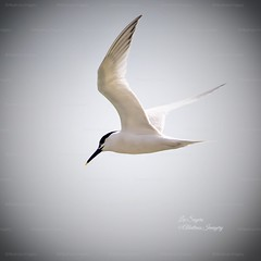 Beautiful Sandwich Tern. (Albatross Imagery) Tags: photographer photography photo flickrphotography flickrwildlife flickr instagram follow gorgeous beautiful hampshirewildlife hampshire ukwildlife uk springwatch rspb birding bird birds nikkor nikonphotography nikonwildlife nikon naturewildlife naturephotography nature wildlifephotography wildlifephotographer wildlife terns tern sandwichtern