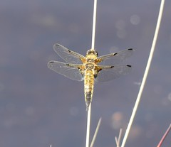Four-spotted Chaser (StevePaisley) Tags: thursley common four spotted chaser insect dragonfly