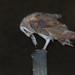 Barn Owl - Coruja-das-torres