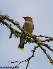 Cedar Waxwing (orencobirder) Tags: smallbirds flickrexport waxwings birds