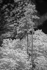 UNC Botanical Garden, Chapel Hill NC [IR, HDR] (MichaelStano) Tags: ir infrared hdr nikkor1870mmf3545 photomatix nikond80 uncbotanicalgarden trees sky clouds chapelhillnc lifepixel720nm