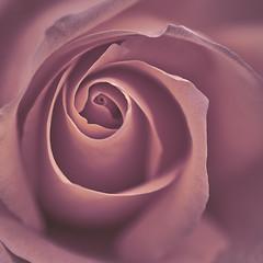 Rose Jul 2019 (gedaesal) Tags: gedaesalgmailcom closeup details nopeople sigma50mmmacro colors rose canon700d