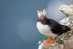 Puffin (Davehux) Tags: bokeh stunning birdphotography birds wildlife puffin rspb sigma sony thanks