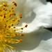 White Rose?