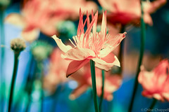 Under the sea? (_chloechappell) Tags: bokeh macro flower nature sharp detail canon canoncamera
