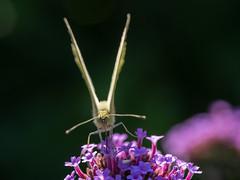 visitor in my garden (de_frakke) Tags: vlinder koolwitje schmetterling mariposa papillon butterfly farfalla tuin garden visitor