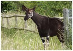 Okapi (Tom Warne Photography) Tags: okapi marwell zoo