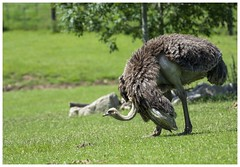 Ostrich (Tom Warne Photography) Tags: ostrich marwell zoo