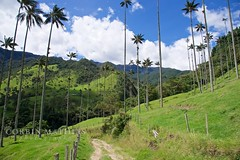 Valle de Cocora (cdmathias) Tags: valle de cocora colombia columbia valley palm tree palms trees hiking hike nature mountain mountains andes south america seuss salento boquia