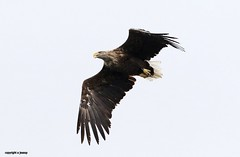 White Tailed Sea Eagle J78A0449 (M0JRA) Tags: scotland isles mull sea water waves boats reflections land birds holidays vacations sky clouds sunset sun deer fields roads eagles