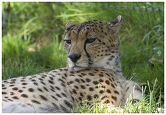 Cheetah (Tom Warne Photography) Tags: cheetah marwell zoo