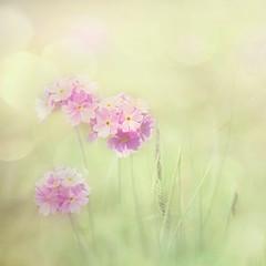 True love (Birgitta Sjostedt) Tags: flower nature blossom field may spring primulafarinosa texture filter fineart birdseyeprimrose pastel