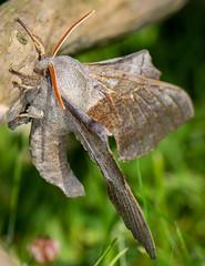 Poplar Hawk Moth-13 (ianrobertcole1971) Tags: