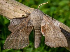 Poplar Hawk Moth-9 (ianrobertcole1971) Tags: