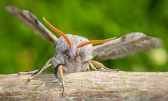 Poplar Hawk Moth-6 (ianrobertcole1971) Tags: