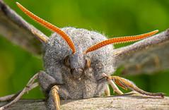 Poplar Hawk Moth-5 (ianrobertcole1971) Tags: