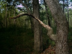 Black (surfcaster9) Tags: lowkey oaktree dark florida forest lumixg7 lumix20mmf17llasph nature outdoors woods