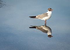 Sea Gull Reflections (JavaJoba) Tags: travel bird reflection water seagull florida nikon