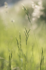 Quel foin ! * (Titole) Tags: grasses weeds titole nicolefaton shallowdof green bokeh
