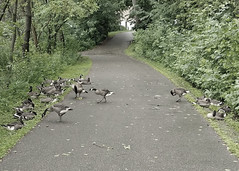 Group of Goslings (Link.n.Logs) Tags: goslings geese richfield lake