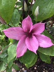 Our clematis is blooming beautifully this year (Martellotower) Tags: clematis garden flower bloom